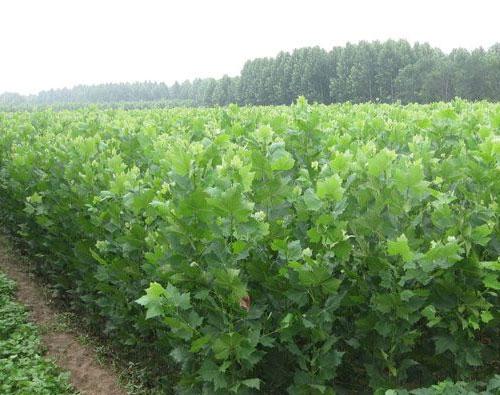 修剪整形法桐小苗时,根据绿化苗的特点,应保留一定树干高度(2.5米至3米),截去主梢进行定干,在其上部选留3个不同方向的枝条(交叉角为120°)进行短截修剪。法桐在生长期内及时进行抹芽,促进三大主枝生长。冬季修剪时,可在每个主枝中选2个适当侧枝进行短截,以形成6个小副侧枝,夏季摘心控制其生长,来年冬季修剪时,在6个小副侧枝上各选两个枝条进行短截,即可形成3主6枝12叉的分枝造型,以后每年冬季可修剪去主枝的1/3作为主枝的延长枝,保留弱小枝作为附着枝。剪去过多的侧枝,使剩余侧枝交互着生,但长度不